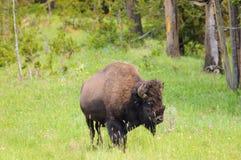 Bison on the range Stock Image