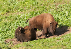 Bison on the range Royalty Free Stock Images