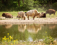 Bison reflected in water. White bison pair reflected in water Stock Images