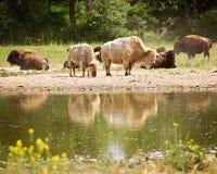 Bison reflektiert im Wasser Stockbilder