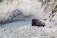 Bison Relaxing alla stazione termale della natura Immagini Stock Libere da Diritti