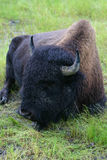 Bison Stock Images