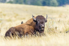 A bison is relaxing in a field in Yellowstone. A bison is relaxing in a field with two birds sitting on its back Royalty Free Stock Photography