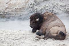 Bison Relaxing vid den varma pölen Royaltyfria Bilder