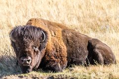 Bison relaxing, Waterton Lakes National Park, Alberta, Canada. A single large bison relaxing on the grass laying down Stock Photos