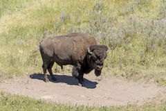 Bison on Remote Prairie. Bison on a Remote Prairie on the Hayden Valley of Yellowstone National Park in Wyoming Royalty Free Stock Photo