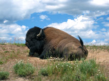 Bison at Rest Stock Image
