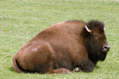 Bison at rest stock photos