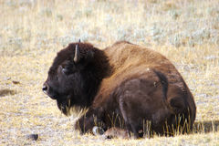 A bison resting. In the sunlight royalty free stock image