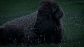 Bison Resting In The Evening arkivfilmer