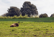 Bison resting Stock Image