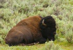 Bison resting Stock Image