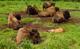 Bison resting in the nature Stock Photography