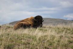 Bison. Resting on top of a hill Stock Images
