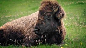 Bison Resting In Wild Meadow stock videobeelden