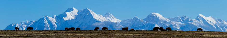 Bison On The Ridge With The Mission Mountains In The Background Stock Images