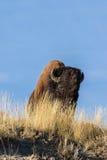 Bison on Ridge Royalty Free Stock Images