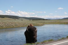 Bison Rising Royalty Free Stock Photos