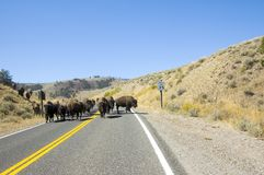 Bison on the road Royalty Free Stock Photography