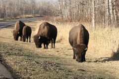 Bison by the road. National park, elk island, canada Royalty Free Stock Image