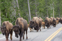 Bison on the Road Again. The most crazy thing at Yellowstone National Park was coming across a herd of bison walking down the roadway. It blocked traffic heading Stock Photos