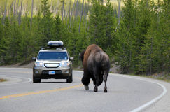 Bison on the Road Royalty Free Stock Image