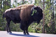 Bison on road i Stock Image