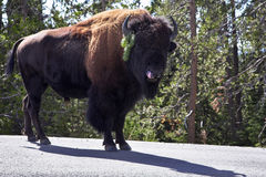 Bison on road in  park Royalty Free Stock Image