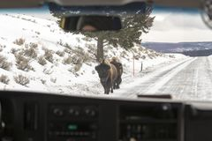 Bison on roadside from inside tour bus in Yellowstone National P royalty free stock photos
