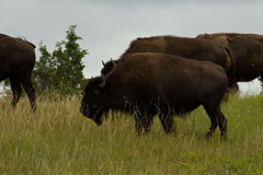 Bison Roaming the North Dakota Plains Royalty Free Stock Photo