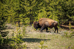 Bison roaming. Wild bison in Yellowstone, wyoming, USA Royalty Free Stock Image