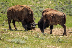 Bison roaming. Wild bison in Yellowstone, wyoming, USA Stock Photography