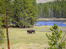 A bison at the rocky mountains. In summer Royalty Free Stock Photos