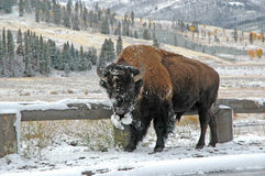 Bison in Rocky Mountains, USA Stock Photos