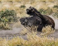Bison taking a dust bath. Bison rolling in the dirt to get rid of parasites Grand Teton National Park, Wyoming, USA stock image