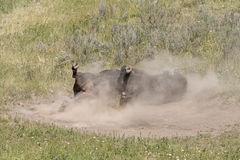 Bison Rolling in the Dust. In the Hayden Valley in Yellowstone National Park in Wyoming Stock Photo