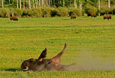 Bison rolling in the dust. Stock Photo
