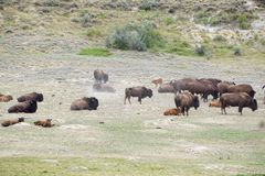 Bison rolling in the dust. Bison walk, rest and roll in a the short grassy plain Royalty Free Stock Images