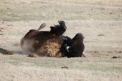 Bison Rolling i smuts Arkivbilder
