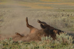 Bison Rolling During Rut Royalty Free Stock Images