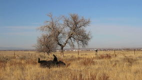 A bison rolls in the grass near Denver, Colorado. stock video footage