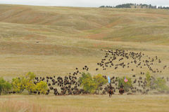 Bison Roundup. Custer State Park, South Dakota, United States - September, 27 2013: The 48th annual roundup of the State Park buffalo herd to inoculate, brand stock photography
