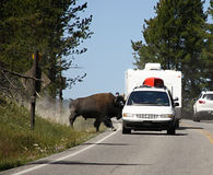 Bison on the route,Yellowstone national park Stock Images