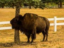 Bison Rubbing sur un arbre image stock