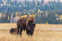 Bison Rutting en otoño fotos de archivo libres de regalías