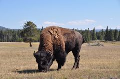 Bison's lunch time Royalty Free Stock Photos