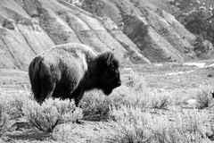 Bison in the Sagebrush. A black and white photo of a bison in the sagebrush of Yellowstone National Park Royalty Free Stock Photo
