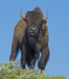 Bison sauvage dans mon visage. images stock