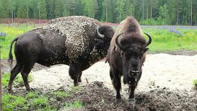 Bison sauvage en nature banque de vidéos