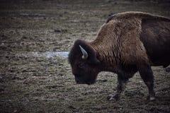 Bison sauvage frôlant l'herbe Photo libre de droits